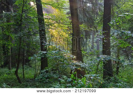 Sunbeam entering rich deciduous forest in misty evening rain after with old spruce in foreground, Bialowieza Forest, Poland, Europe
