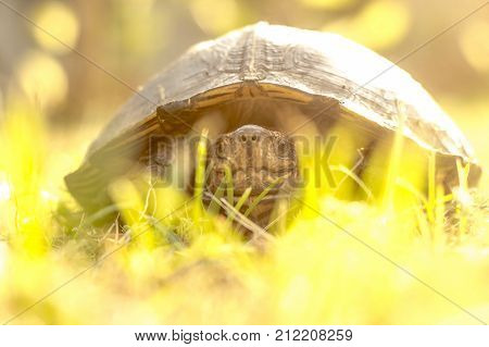 Big turtle on green grass after rain texture background environment concept and for motto slow walking but never give away until success and see gold concept. Smilling and happy face of Turtle.