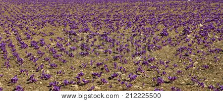 Saffron field at harvest time, autumn