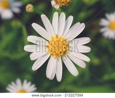 Top view and close up image of white petal and yellow pollen daisy flower on soft toned Focus with pollen Soft and selective focus