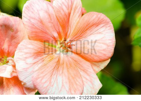 Beautiful pink orange geranium flower with stamens in the garden close up selective focus