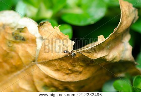 Little ant on the dead dry leaf in the garden selective focus close up