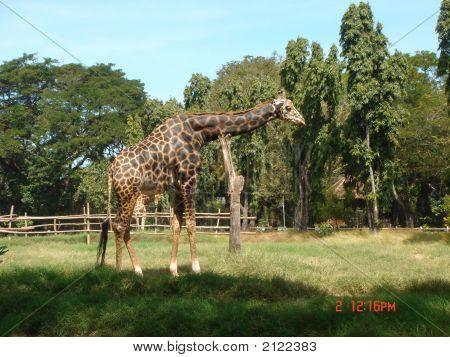 Girafee - Resting His Neck
