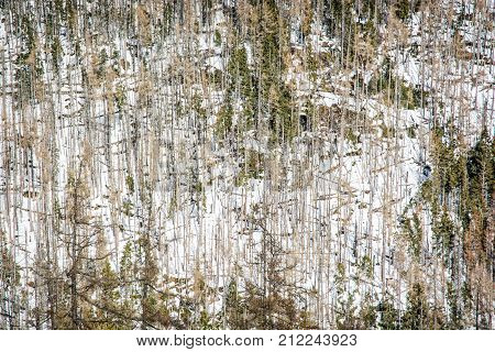 Spruce forest after natural disaster in High Tatras mountains Slovakia. Winter natural scene.