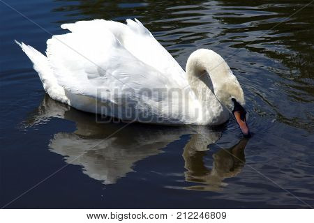Adult Mute Swan (Cygnus olor) swiming in an artificial pond