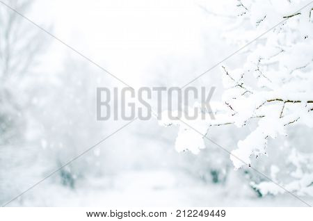 Close up blurred photo of snow on tree branches in winter forest with copy space. Christmas background.