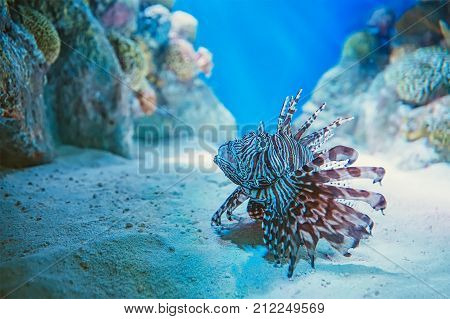 lionfish in the fish tank. the tropical fish - Red lionfish, Pterois volitans