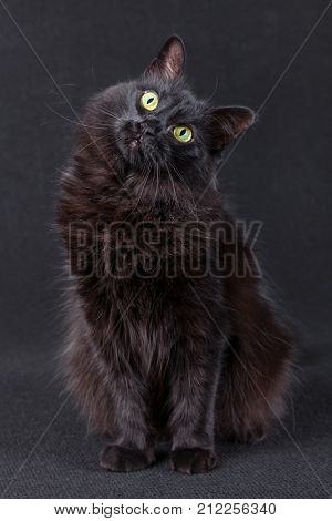 Black cat sitting on a dark background and acting very curious by tilting the head in a funny and cute pose. Long hair Turkish Angora breed. Adult female.