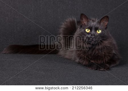 Sleepy black cat lying down facing the camera on a dark background. Long hair Turkish Angora breed. Adult female.