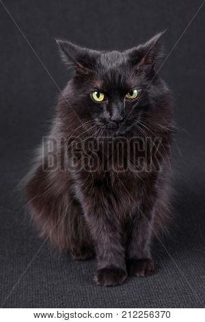 Portrait of an annoyed, angry or irritated black cat with the flattened ears pointing back on a dark background. Long hair Turkish Angora breed. Adult female.
