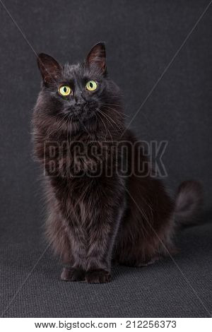 Cute black cat sitting, facing and looking at the camera acting curious on a dark background. Long hair Turkish Angora breed. Adult female.