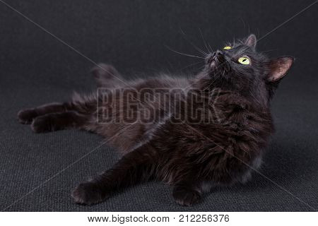 Curious black cat lying down on the side and looking up on a dark background. Long hair Turkish Angora breed. Adult female.