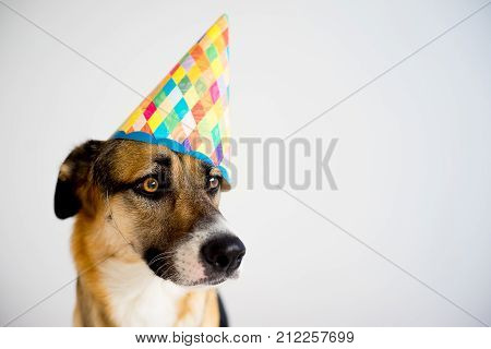 Close up of dog in a birthday party hat