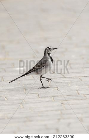 Portrait In Profile A Small Gray Wagtail With A Damaged Foot
