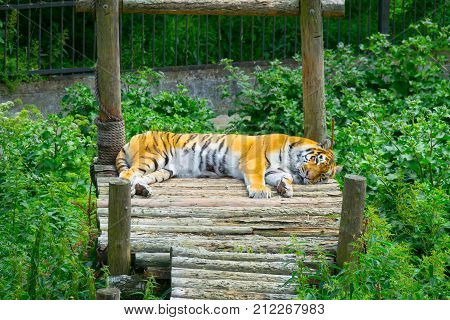 Young Bengal Tiger Lying On Boards On Wooden Bridge. Large Tiger Rests On A Hot, Sunny Day. Striped