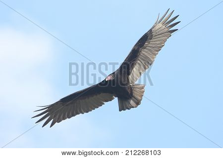 Turkey Vulture (Cathartes aura) in flight against a blue sky with clouds