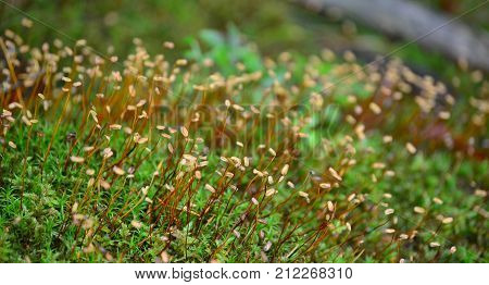 Polytrichum commune is one of the more common mosses in the Czech Republic