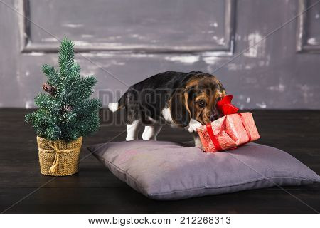 Young beagle puppy sniffing gift box with red bow. Christmas tree next to a dog