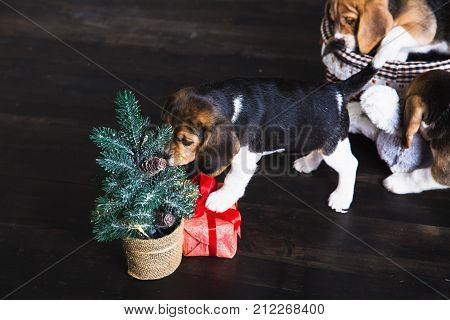 Young beagle puppy sniffing Christmas tree and gift box with red bow.