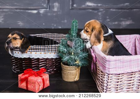 Two beagle puppies in the baskets. Young beagle puppy sniffing Christmas tree. Gift box with red bow next to a dog