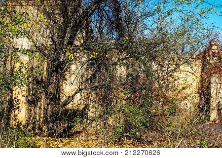 A wall of an old abandoned ruined brick house visible through thickets. The debris of an old building. Ukraine