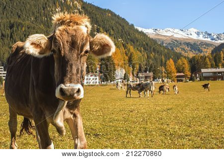Cows graze on the field in Davos in Switzerland on the background of the Swiss Alps. Davos Switzerland