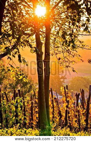 Sunset In Vineyard Through Tree Vertical View