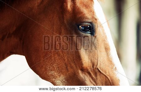 Picture of beautiful brown horse with head isolated