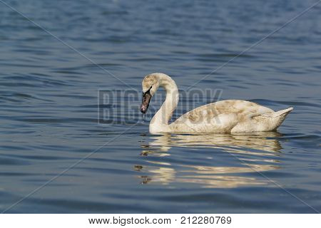 Young Mute Swan (lat. Cygnus Olor) With A Wet Beak