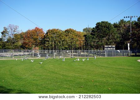 PETOSKEY, MICHIGAN / UNITED STATES - OCTOBER 18, 2017: A flock of ring-billed gulls (Larus delawarensis) alights upon the outfield grass of the Ed White Baseball Field, in Petoskey's Bayfront Park.
