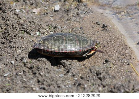 Midland Painted Turtle (Chrysemys picta) on soft gravel on the side of a country road. poster
