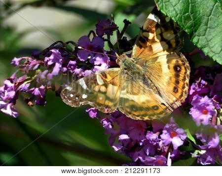 Red Admiral Butterfly on a buddleja flower in High Park of Toronto Canada September 21 2017