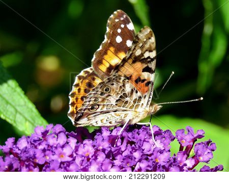 The Red Admiral Butterfly on a buddleja flower in High Park of Toronto Canada