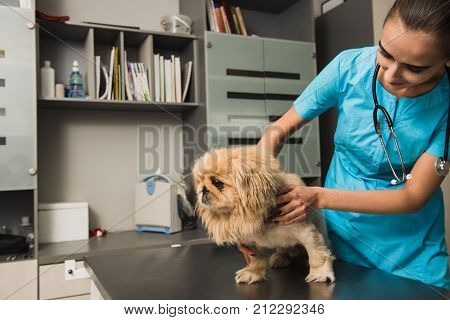 Vet examining the dog in a clinic. Dog examination at vet ambulance.