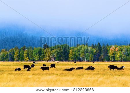 Cattle grazing a vast field surrounded by an aspen and pine woodland taken in rural Central Oregon