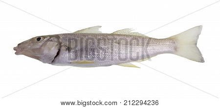 Sand whiting also known summer yellowfin or blue-nose whiting (Sillago ciliate) is a slender and slightly compressed fish with two parts dorsal fin poster