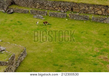 Llamas on the Central Plaza of the Machu Picchu Inca ruins in Peru