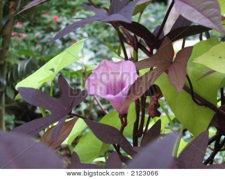 Purple Flower,  Dark Leaves