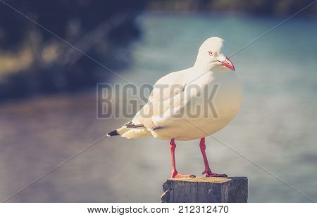 Close up image of a red billed gull (Chroicocephalus scopulinus) perched on a post at the Waikanae Estuary on the Kapiti Coast of New Zealand. The red-billed gull once also known as the mackerel gull is a native of New Zealand.