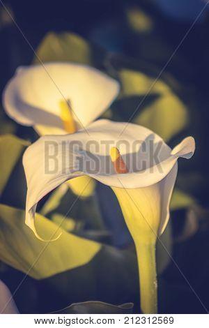 Close up image of Arum Lilies (Zantedeschia)