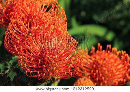 Red Pincushion Protea (Leucospermum cordifolium) is a shrub native to South Africa - bright vibrant