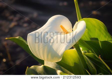 Close up image of an Arum Lily (Zantedeschia)