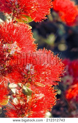 Close up image of Red Pohutukawa Flowers (Metrosideros excelsa) the New Zealand Christmas Tree.