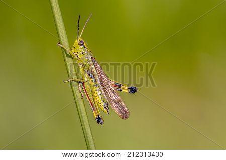 Marsh Grasshopper On Grass Stem