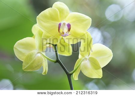 Phalaenopsis orchids flowers in bloom in adorn the beauty of nature. This flower grows in the tropics, flowers bloom long and are decorated in landscaped gardens