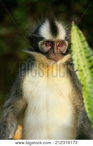 Thomas Leaf Monkey Sitting On The Ground In Gunung Leuser National Park, Bukit Lawang, Sumatra, Indo