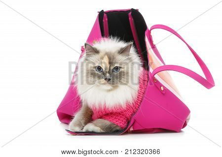 beautiful long fur birma cat wearing pink pullover sitting in big bag. isolated on white. studio shot. copy space.