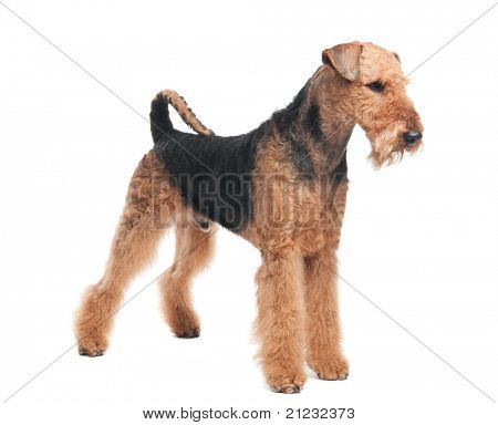 One standing Black brown Airedale Terrier dog isolated on white poster