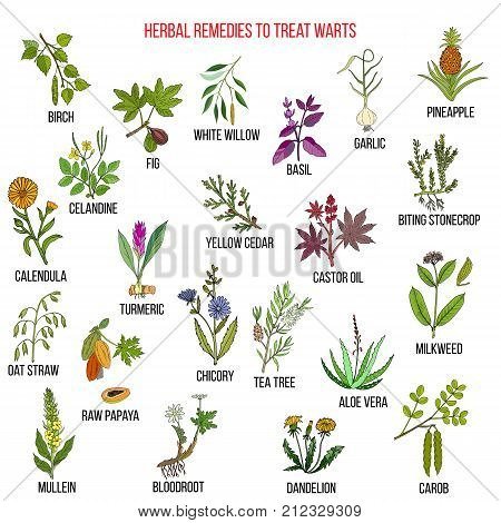 Best herbal remedies to treat warts. Hand drawn vector set of medicinal plants