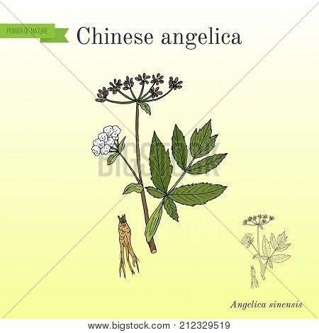Angelica sinensis, or dong quai, or female ginseng - medicinal herb. Hand drawn botanical vector illustration